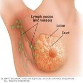 Lymph Nodes, Lobules, and Milk Duct