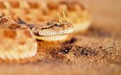 homed viper snake