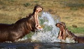 HIPPOS ARE FIGHTING