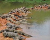 Most young alligators can be found in groups or herds.