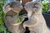 Koalas vs. Climate Change