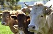 dawre cow