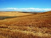 where wheat is grown