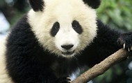 What is a  panda?