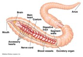Earthworm Circulatory System