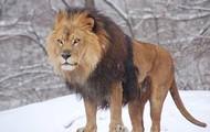 Lions hunt
