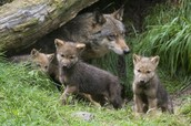 A momma wolf with her cubs