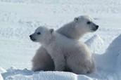 Oso de Polar