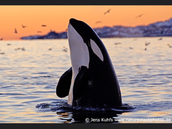 Killer Whale Food Chain