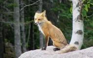 Beautiful red fox!