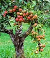 "Apple tree ""Norland"""