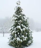 A Christmas  tree with snow on it