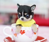 puppy in the cup.