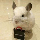 Whether or Not I Can Get A Chinchilla