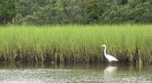 tall water grass