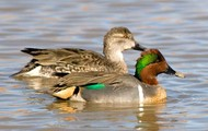 Green-winged Teal Duck
