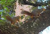 Squirrels At Rice University