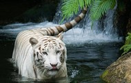 White Tiger Habitat