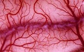 Tracing the flow of blood through the body: