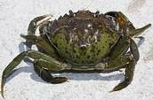What is an European green crab?