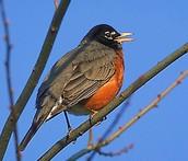 State Bird = Robin