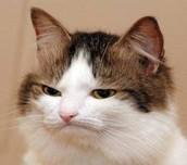 El gato enojado es muy popular.  Es muy gracioso pero esta muy enojado.