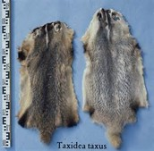 pelts of the hunted animals