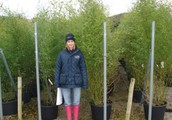 Considering the Aesthetic Black Caned Bamboos in the Garden