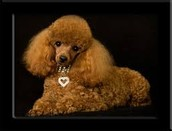 About Toy Poodles