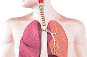 What is in the Respiratory System and what does it do?