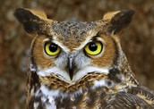 Wise Old Owl Won't Speak to Anyone
