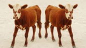 Two identical cows that were cloned