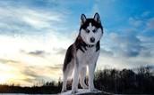 http://nextranks.com/dogs-breeds/siberian-husky.html
