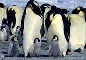Penguins in the Polar Ice Caps