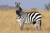 Plains Zebra in Treeless Grassland