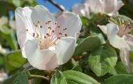 Flor del membrillo blanca