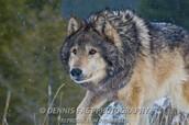 Wolf getting ready to atak  its prey