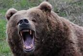 Kodiak Bears Can Be Highly Agressive