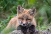 A Fox is also a land organism.