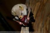 White bats