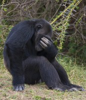 How a chimpanzee acts when he finds out his son got the wrong berries