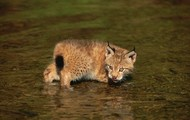 Another small lynx