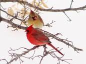 north cardinal state bird