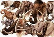 Evolution of elephants