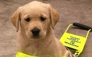 Guide dog in training.