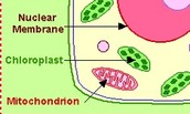 mictcondria in plant cell