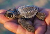 Quelle est l'apparence d'une tortue luth?