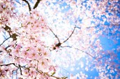 Japanese Cherry Blossom: Spring Edition