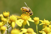 What is pollen?