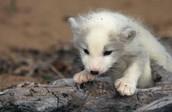 Baby Arcticfox